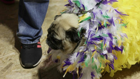 Cute pug wearing crazy feather suit, performing at dog show, canine fashion Footage