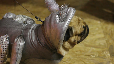 Funny pug demonstrating creative silver costume of cosmic creature at dog show Footage