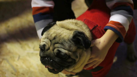 Child hugging nice pug, posing to photographer at dog show, love for animals Footage