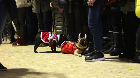 Cute pugs demonstrating festive canine clothing at dog show, tired animals Footage