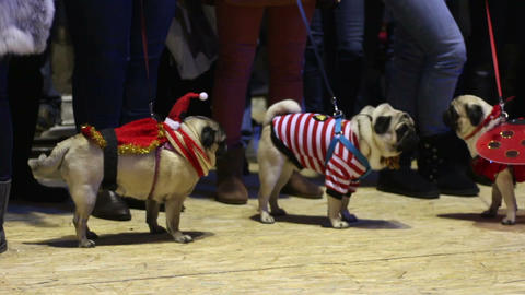 Nice pugs demonstrating creative canine fashion at dog show, animal boutique Footage