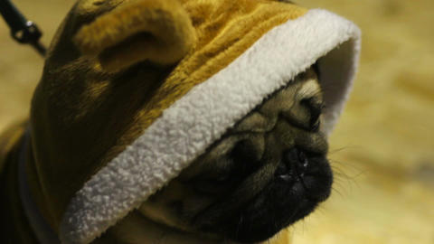 Closeup of cute pug puppy wearing nice Christmas suit, owner taking care of pet Live Action