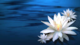 Lotus Background (3) CG動画素材