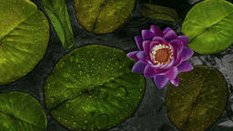Lotus Background (2) Animation