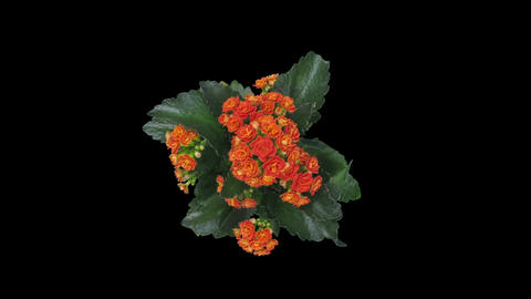 Time-lapse of opening orange kalanchoe flower in RGB + ALPHA matte format, top Footage
