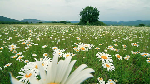 Field and flowers Stock Video Footage