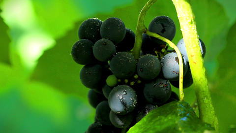 Grapes in sunlight. shot slider Stock Video Footage
