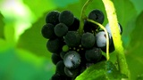 Grapes in sunlight. shot slider Footage