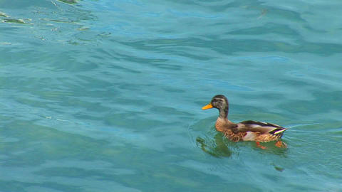 duck dives Stock Video Footage