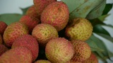 Delicious lychee Footage