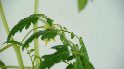 Lush tomato seedlings & flowers Footage