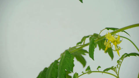 Lush tomato seedlings & flowers Stock Video Footage