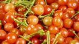 Fresh cherries Footage