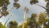 pine trees 2 Footage