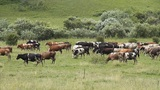 The Cows and oxens Footage