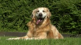 10721 golden retriever dog sweats in sun Footage