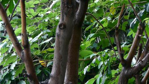 Tree in rain,lush foliage leaves Stock Video Footage