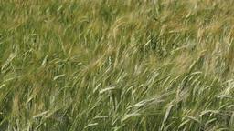 field full of green wheat Footage