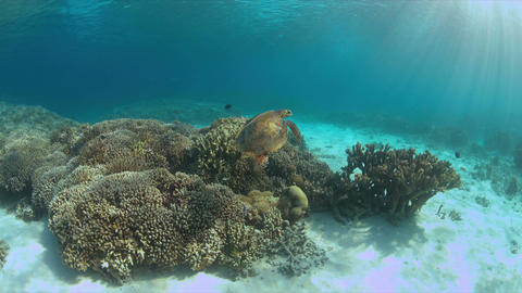 Hawksbill Turtle on a coral reef Live Action