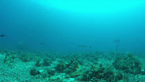 Coral reef with Whitetip Reef Shark Live Action