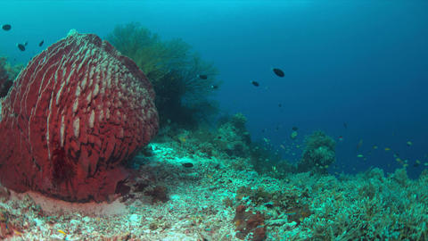 Coral reef with a big sponge coral Footage