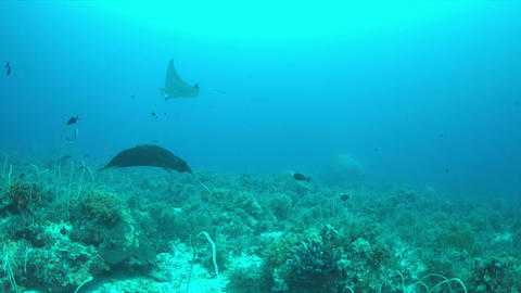 Two Manta rays on a coral reef Live Action