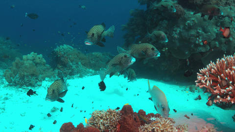 Harlequin sweetlips on a coral reef Footage