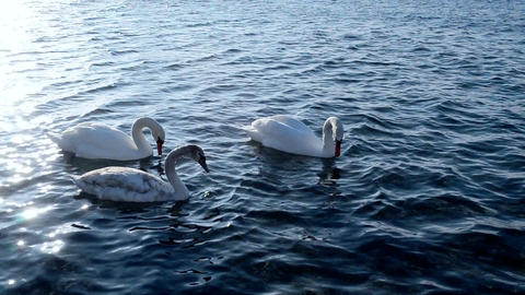 Three white swans on the sea Footage