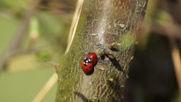 two ladybugs crawl on the tree in the spring Footage