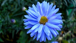 Blue aster in the garden Footage