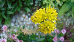 Houseleek flower with ants Footage