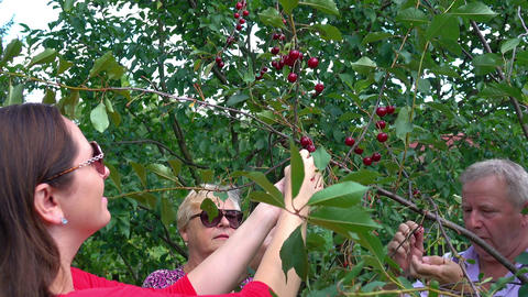 Video of family picking cherry fruits in 4K Footage