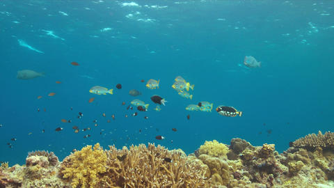 Diagonal banded sweetlips on a coral reef Live Action