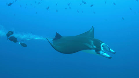 Manta ray on a coral reef 4k Footage