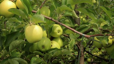 Apple trees Filmmaterial