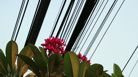 Nature and technology, Plumeria flowering tree and electrical power lines Footage
