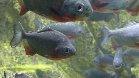 Piranhas Swimming In A Tank Footage