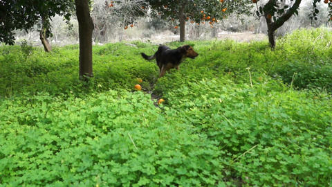 Dog in the orchard 1 Live Action