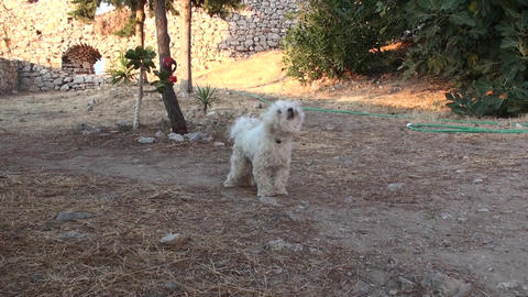 Small White Dog (1) Footage