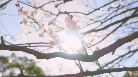 Japanease White Plum Flowers,in Showa Kinen Park,Tokyo,Japan,Filmed in 4K ビデオ