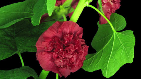 Time-lapse of blooming red filled mallow flower in RGB + ALPHA matte format Footage