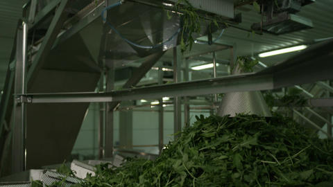 Technological Line Processes Vegetable Leaves Footage