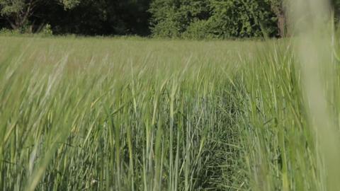 Path In A Wheat Field 02 Footage