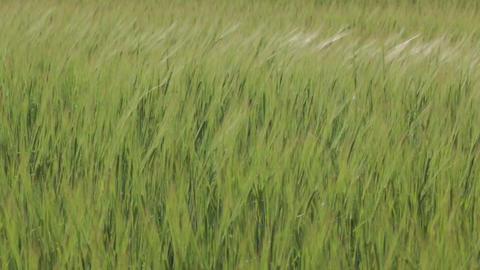 Green Wheat Spikelets medium shot Footage