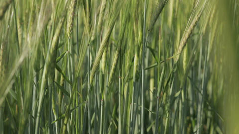 Green Wheat Spikelets close-up 01 Footage