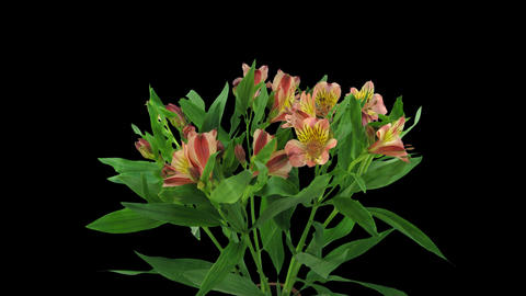 Time-lapse of opening yellow-red peruvian lily, 4K with ALPHA channel Footage
