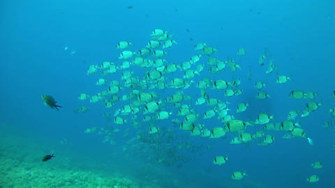 Two banded bream school Footage