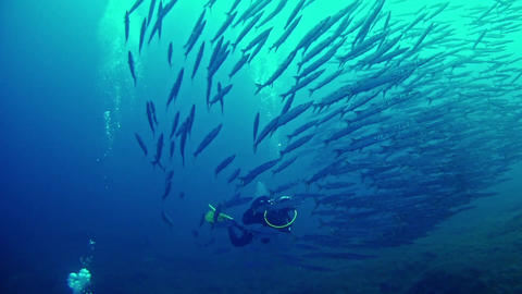 Barracudas and Diver underwater Footage