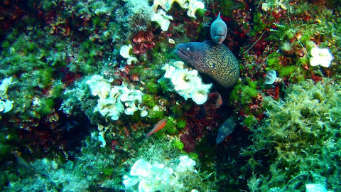 3 Moray eel Footage
