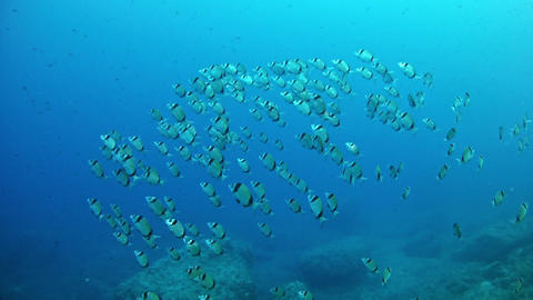 Two banded bream school - diving in the Mediterranean Live Action